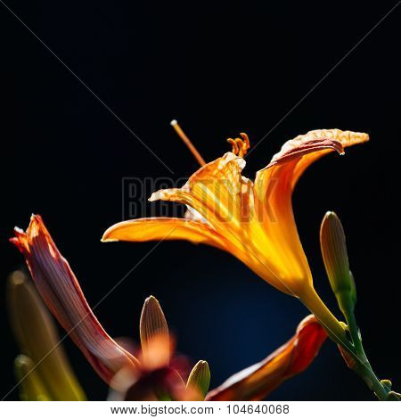 Orange Flowers Of A Daylily