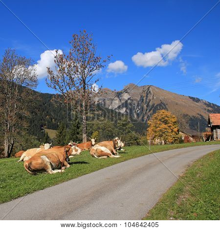 Resting Simmental Cows In The Swiss Alps