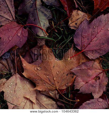 Autumn wet foliage. Macro shot