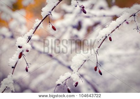 Red berries under first snow