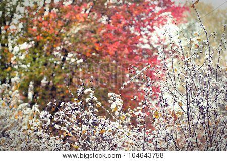 Red berries under first snow. Autumn season, closeup