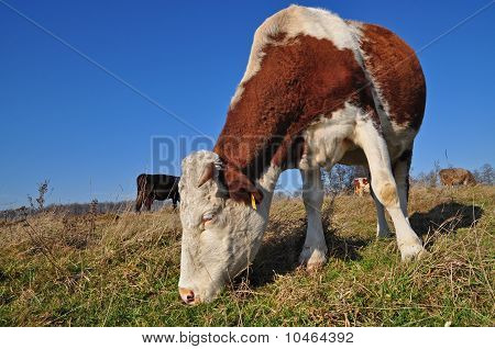 Cow on an autumn pasture