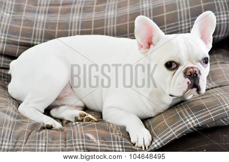 Sleepy French Bull Dog In The Sofa