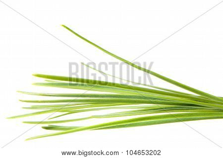 Isolated Pine Leaf - Stock Image