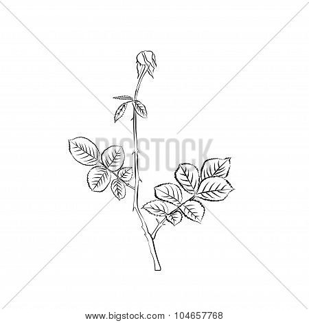 Stem and leaves of withering rose.