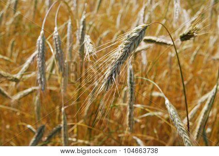 Golden Rye In Autumn.village Rye. Farm.  Sunny Gold