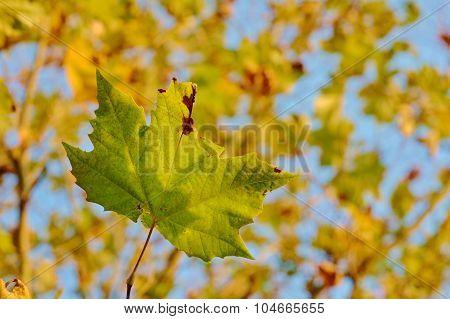 Close autumn maple leaf