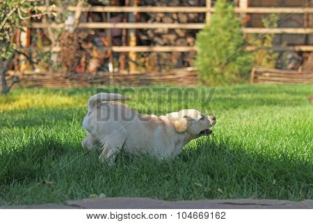 Cute Nice Yellow Labrador Puppy In Green Grass