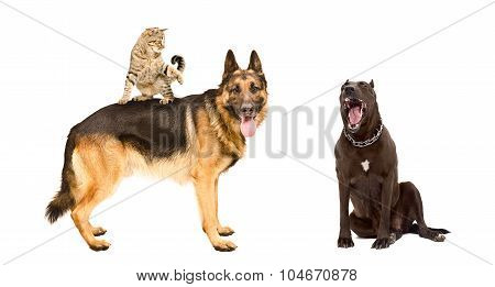 Two dogs and a funny cat