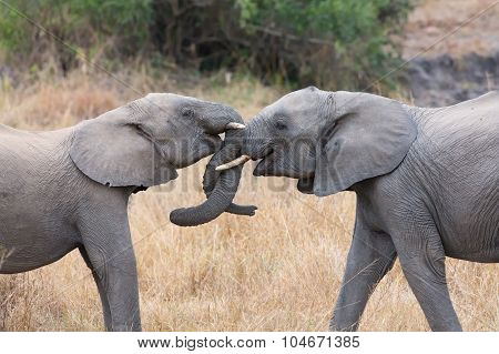 Two Elephant Greet With Curling And Touching Trunks