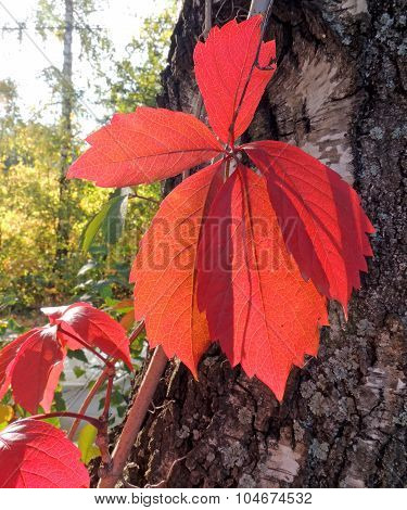 The Leaves Of Parthenocissus On The Birch Trunk