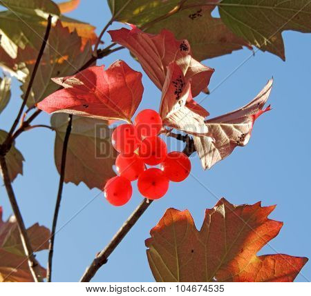 Guelder-rose With Fruit
