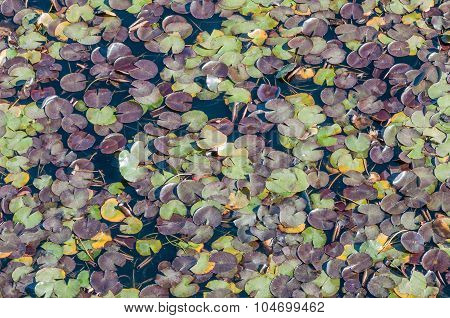 Multi-colored Water Lily Leaves