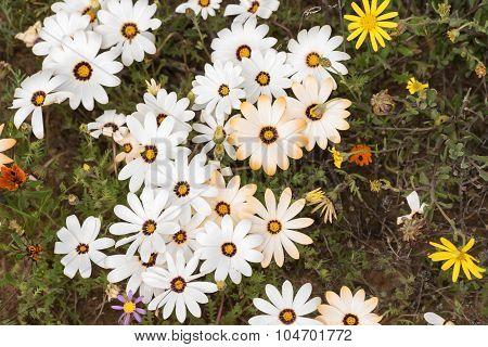Flowers Of The Genus Dimorphotheca