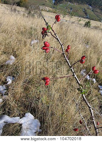 Red rose hips on a background of withered grass