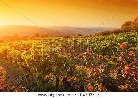 Vineyard in Tuscany, Italy. Picturesque wine farm at sunset. Ripe grapes