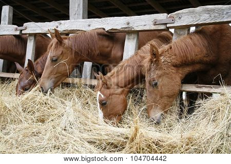 Horses With Their Heads Down Eating Hay