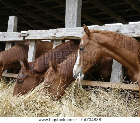 Thoroughbred Chestnut Horses Eating Hay In Stable
