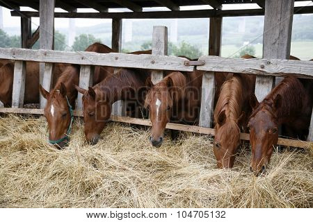 Thoroughbred Yearling Horses Eating Hay In Stable