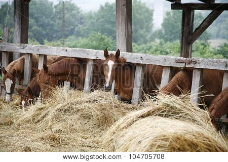 Purebred Horses Eating Fresh Hay Between The Bars Of An Old Wooden Fence