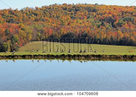 Geese and fall colors