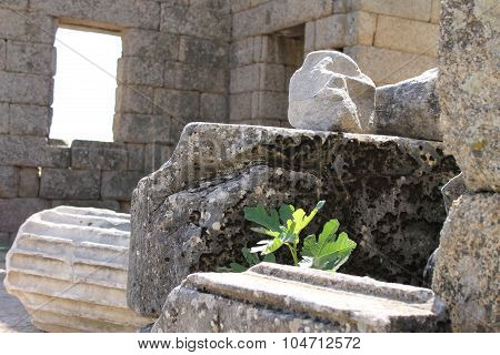 Fig tree in ruins of ancient city of Labranda