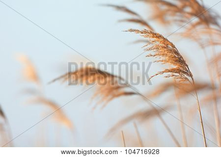 Swaying reeds in front of water