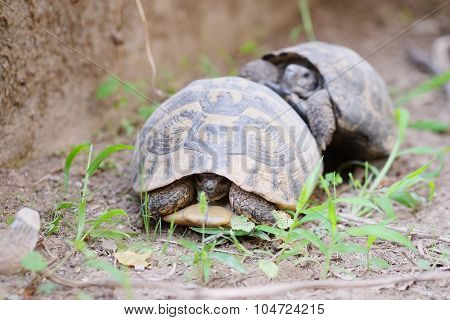 The image of two turtles crawling on the ground