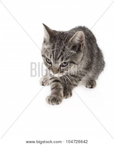 A Tabby Gazing On White Background
