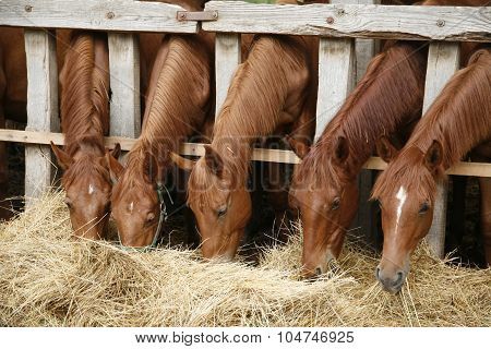 Five Young Purebred Horses Eating Hay Rural Scene