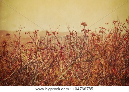 Rose hips on wild rose plants growing on the edge of a farmer's field. With vintage textured effect.