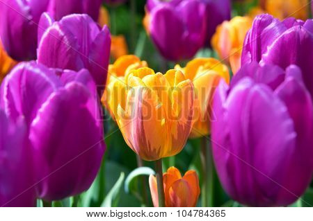 Orange And Lilac Tulips