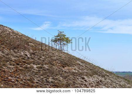 Alone Growing Pine Tree On The Hillside
