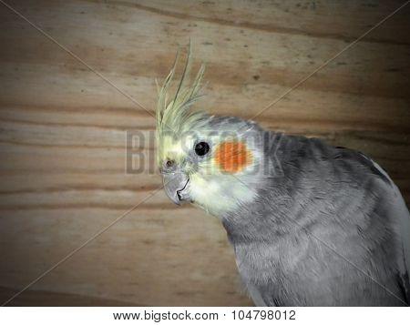 Fledgling Cockatiel