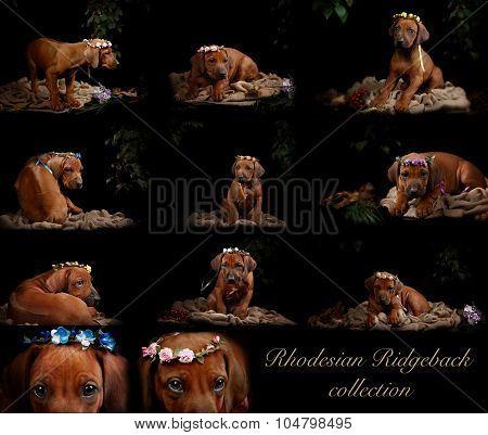 A collection of photos of puppies Rhodesian Ridgeback in a dark studio.