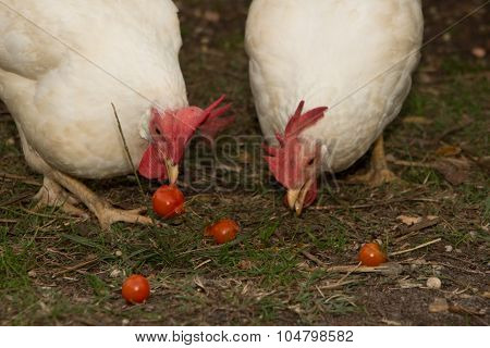 Two White Chicken Eating Tomatoes In The Field - Free Animals
