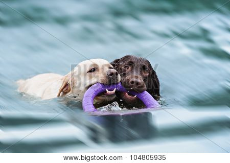 Two Labrador float with a ring in its mouth