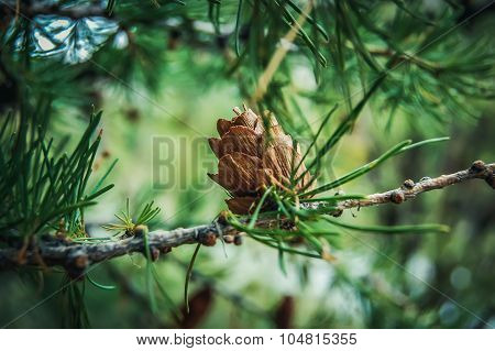 Ovulate coneof larch tree