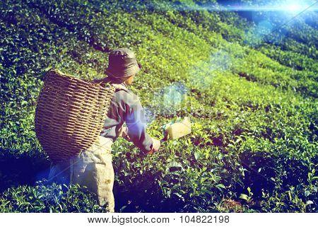 Farmer Picking Tea leaf Indigenous Culture Concept