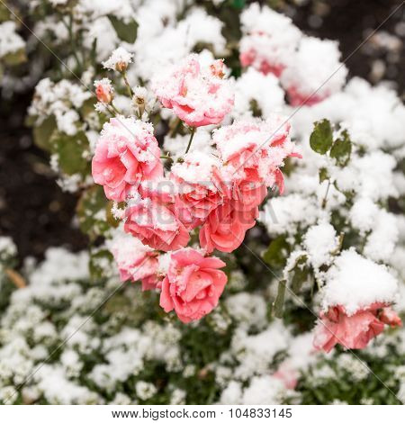 Delicate Pink Roses In A Flower Bed Covered With Fresh Snow