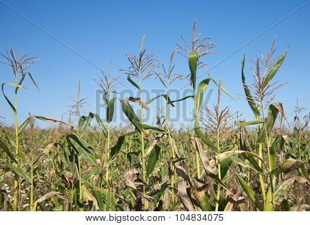 Corn field under clear blue sky