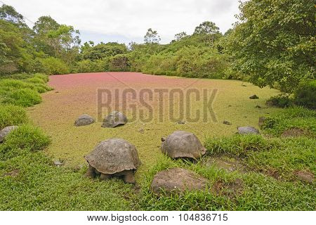 Giant Tortoises In A Shallow Pond Covered With Colorful Pond Weed