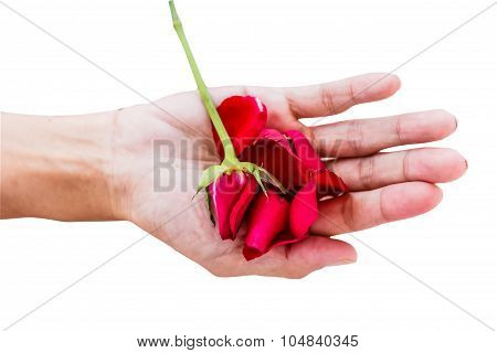 Red Rose With Hands On White Background