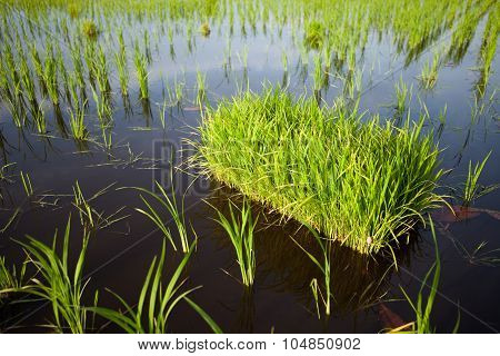 Paddy field during growth phase (Focus is on the nearest paddy bunch)