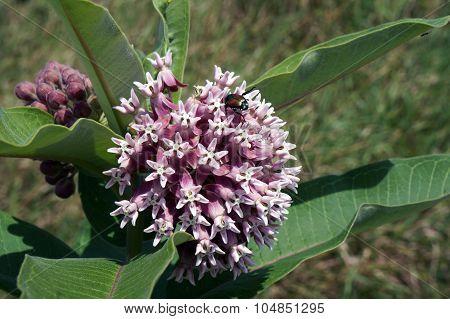 Japanese Beetle on a Milkweed Flower