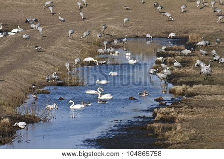 View of cranes, geese and whooper in bird migration.