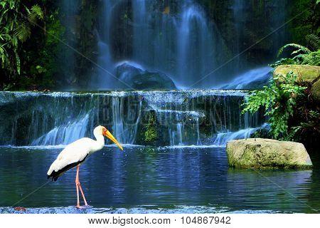Yellow-billed Stork Bird Standing Near Waterfall