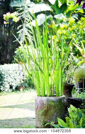 Sedge Plant