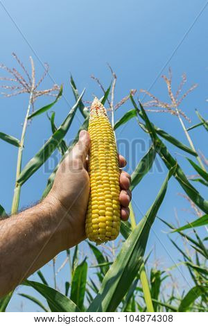 golden maize in hand