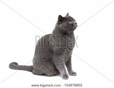 Gray Cat On A White Background Looking Up.